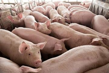 """Bất chấp """"lệnh"""" bình ổn, vì sao giá lợn hơi vẫn tăng vọt trở lại?"""