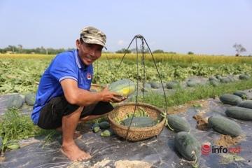 """Quảng Nam: Được mùa, giá lên cao, nông dân Phú Ninh """"trúng đậm"""" mùa dưa hấu"""
