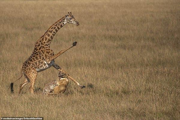 Hươu cao cổ mẹ tuyệt vọng nhìn con tử nạn trước nanh vuốt sư tử