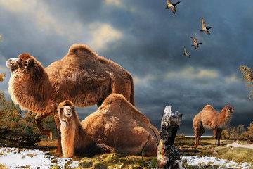 Bạn có biết: Lạc đà khổng lồ từng lang thang khắp Bắc Cực