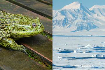 Bạn có biết: Nam Cực là nơi sinh sống của ếch trước khi hoá băng giá lạnh lẽo
