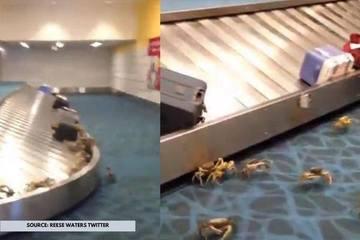 Hàng trăm con cua bò ra khỏi vali, gây náo loạn sân bay