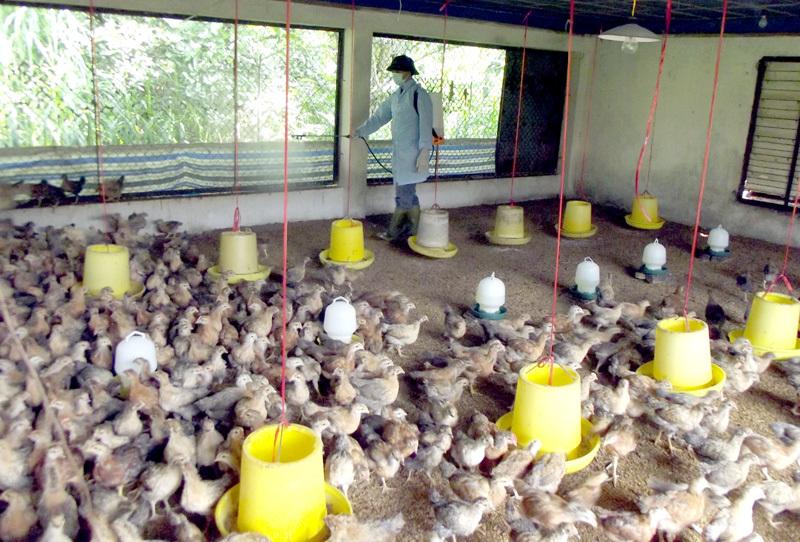 Tuyên Quang: Phát hiện ổ dịch cúm gia cầm A/H5N6 đầu tiên