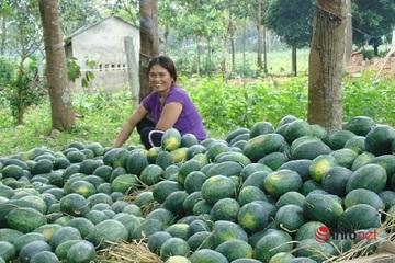 Quảng Bình: Dưa hấu vừa được mùa lại được giá, người trồng dưa bội thu