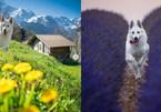 Chú chó trở thành ngôi sao mạng xã hội được đi du lịch khắp Thụy Sĩ