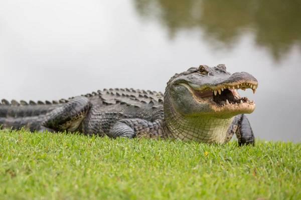Mơ bị cá sấu ăn thịt nên cẩn thận kẻo tiểu nhân hãm hại