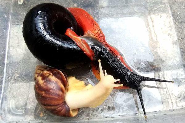 Chiêm ngưỡng loài ốc sên lửa khổng lồ chỉ tìm thấy ở bán đảo của Malaysia