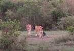 Sư tử bạo gan đánh cắp máy quay và cuộc truy đuổi như phim hành động  ở Kenya