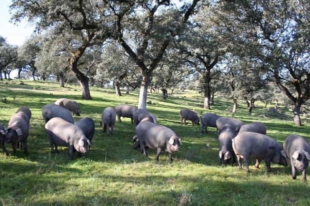 Thịt lợn đen ăn quả sồi nhập về bán 1-3 triệu đồng/kg, nhà giàu Việt ưa chuộng 'cân hết'