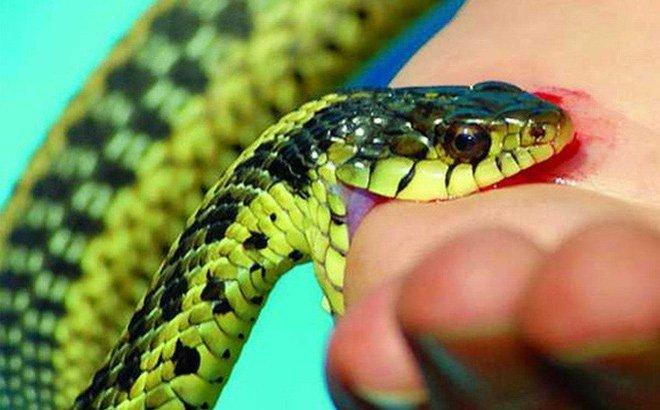 Vì sao không được garo khi bị rắn cắn?