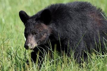 Người đàn ông 72 tuổi cứu chó cưng khỏi gấu đen khổng lồ
