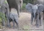 """Video: Chú voi con """"dũng cảm"""" định tấn công xe chở người đi săn"""