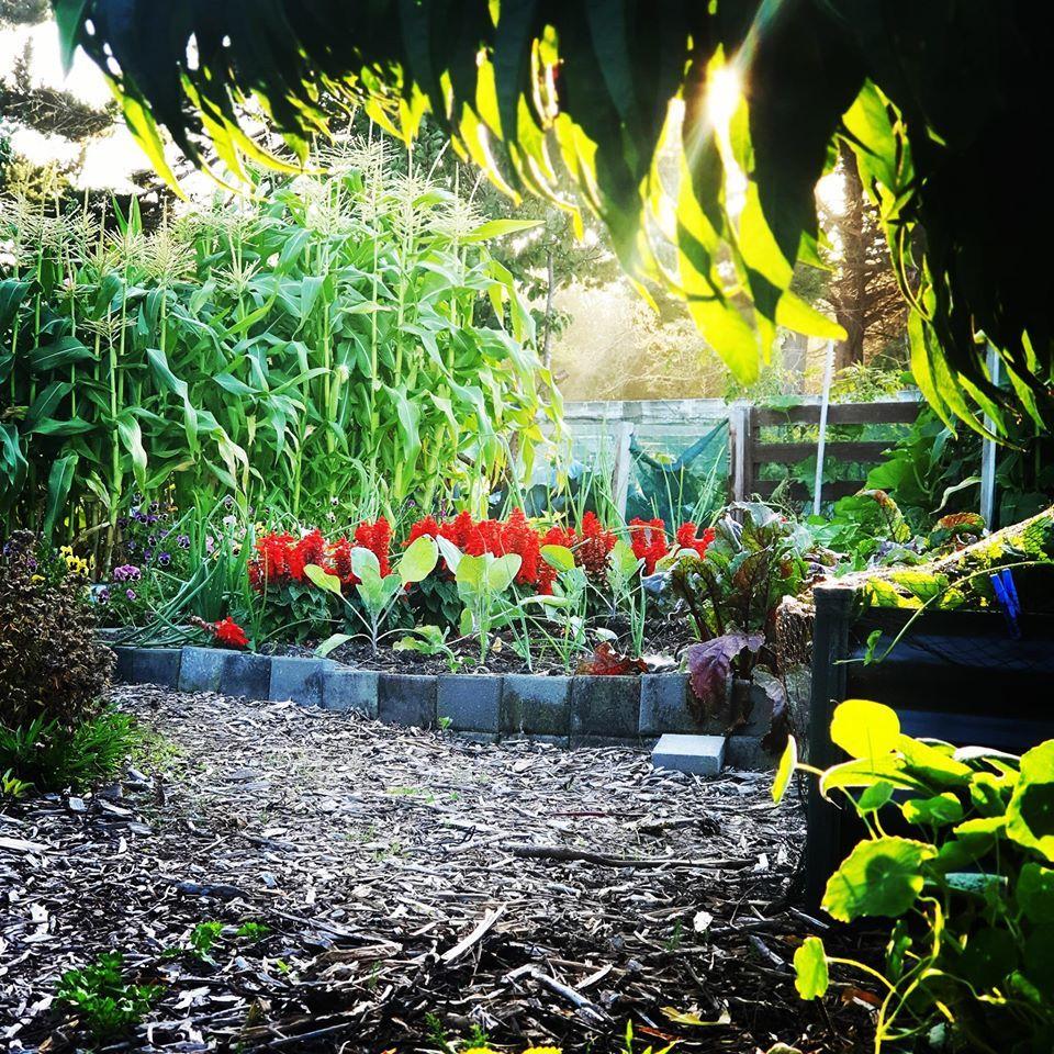 Bà mẹ tự tay chăm khu vườn rau trái hữu cơ xanh tốt ở TP chịu nhiều thiên tai
