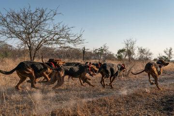 Sử dụng chó huấn luyện bảo vệ đàn tê giác trong tự nhiên