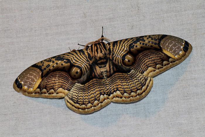 Mê hoặc hình ảnh bướm đêm với đôi cánh như mắt hổ