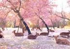 Đàn nai kéo nhau ngắm hoa anh đào ở Nhật Bản