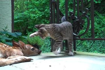 """Mèo """"táy máy tay chân"""" làm quen với chú nai thích nằm """"im như thóc"""""""