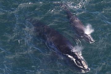 Giải cứu cá voi bị mắc vào lưới, người đàn ông đối mặt với án phạt