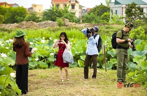 Đầm sen trắng đẹp hút hồn ở ngoại thành Hà Nội, khách lặn lội đi từ 5h sáng đến chụp ảnh