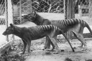 Video hiếm về chú hổ Tasmania cuối cùng ở Australia