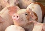 Giá lợn hơi tăng chưa từng có, khó chờ giá giảm