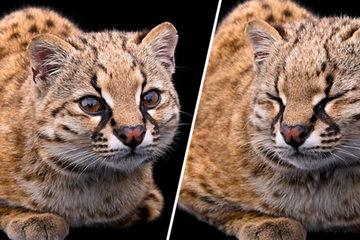 """Lần đầu tiên ghi âm """"tiếng nói"""" của mèo siêu nhỏ chỉ 2,7 kg"""