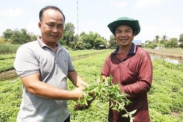 Nông dân miền Tây phấn khởi trước hiệu quả của mô hình trồng sương sáo