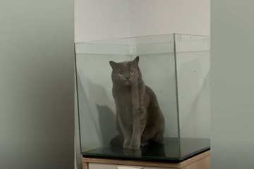 Bật cười khi chú mèo đáng yêu mắc kẹt trong bể cá tò mò nhìn ra ngoài