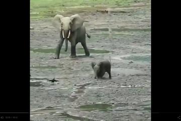 Hình ảnh dễ thương của chú voi con chạy tung tăng tìm bạn chơi cùng