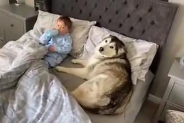 Tan chảy chú chó Husky không chịu rời giường vì muốn nằm cạnh em bé