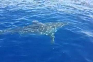 Khoảnh khắc lo sợ đứng ngồi không yên khi cá mập trắng khổng lồ rình rập tấn công thuyền