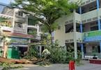 Phượng đổ trong sân trường, một học sinh lớp 6 tử vong, nhiều em bị thương nặng