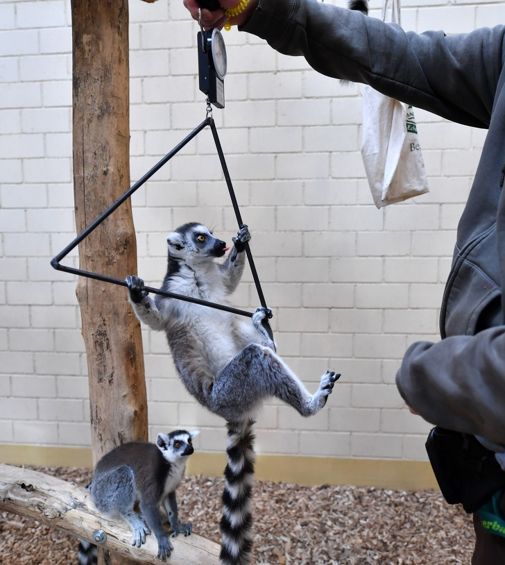 Nhân viên sở thú tiết lộ cách cân nặng động vật sáng tạo có 1-0-2