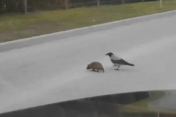 """Video: Quạ """"tốt bụng"""" giúp nhím băng qua đường"""