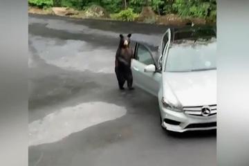 Chết cười với chú gấu sợ hãi bỏ chạy vì gặp phải tiếng la hét dữ dội