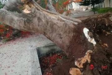Thêm một cây phượng cổ thụ bật gốc, đổ gục trong trường học