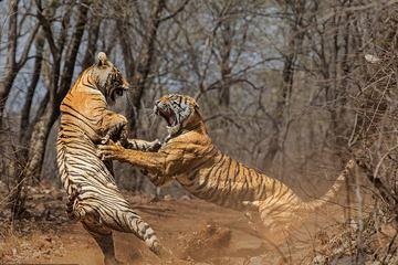 Tranh giành lãnh thổ, hai mẹ con hổ tương tàn