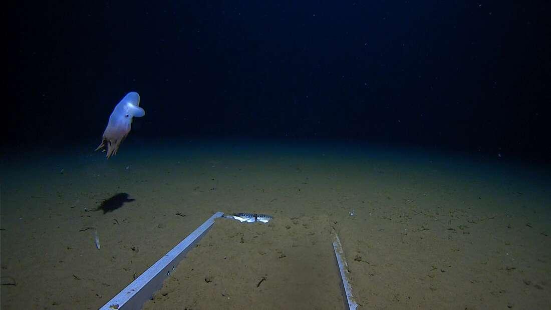 Cận cảnh bạch tuộc ma 'anh em sinh đôi' với voi Dumbo sống dưới đáy biển sâu