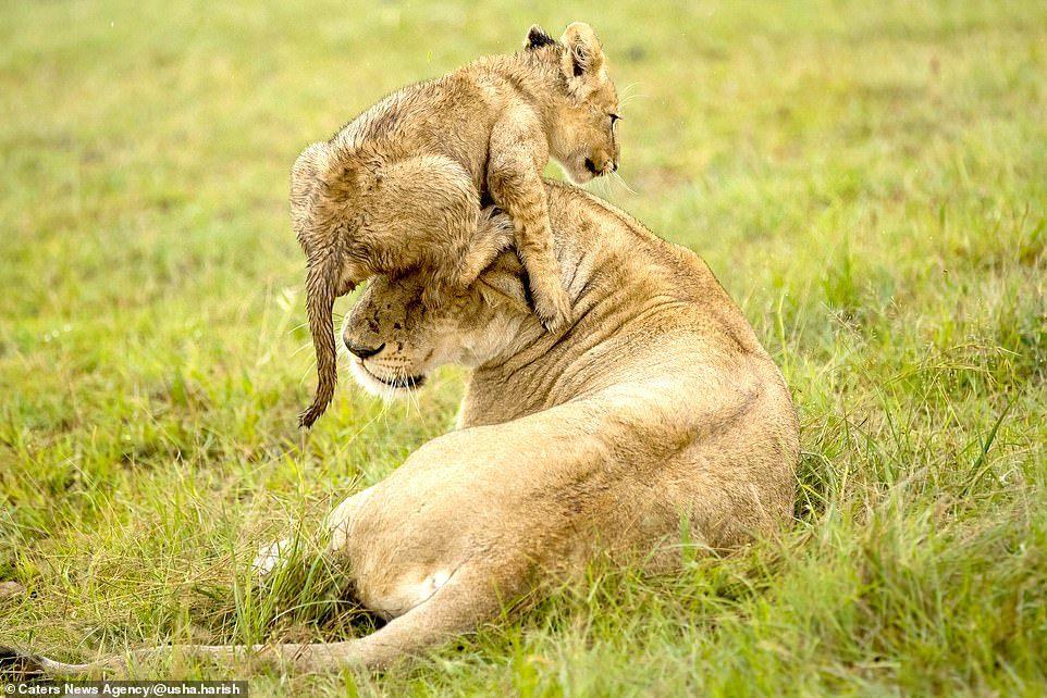 Sư tử con táo tợn nhảy lên đầu cắn sư tử mẹ vì mục đích bất ngờ