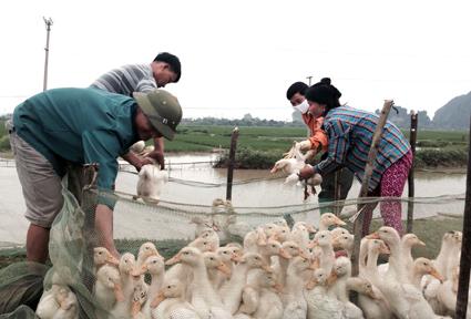 Xuất hiện ổ dịch cúm gia cầm mới, Ninh Bình quyết tâm khống chế, không để dịch lây lan diện rộng