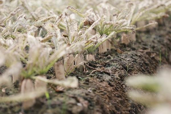 Hà Nội: Phun đủ thứ thuốc, sâu không chết, cánh đồng rau bạc trắng