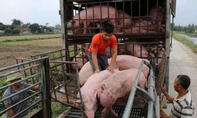 Thịt lợn đắt, dân ăn dè, hơn 1 tháng nữa mới nhập được lợn sống