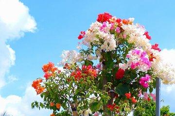 Vườn hoa giấy đa sắc dáng độc, giá trị như kho báu của anh nông dân miền Tây