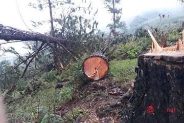 """Rừng thông cổ thụ Langbiang bị tàn phá, chủ rừng nói """"tại dân"""""""