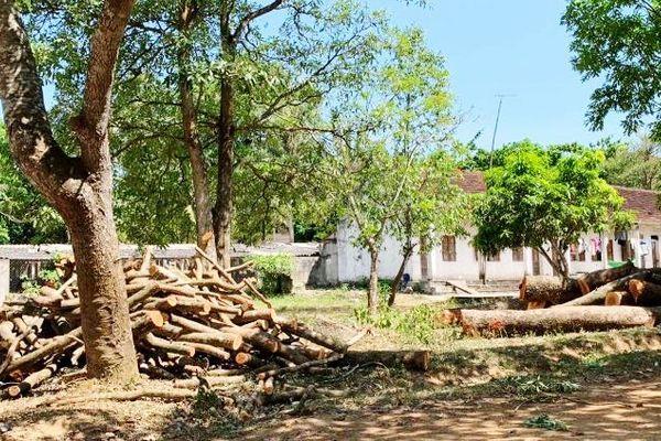 Chặt 2 cây cổ thụ trong sân trường mùa nắng gắt, Hiệu trưởng xin lỗi