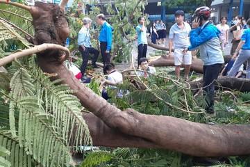 Từ vụ cây phượng đổ trong trường học: Nhìn lại vấn đề quản lý cây xanh