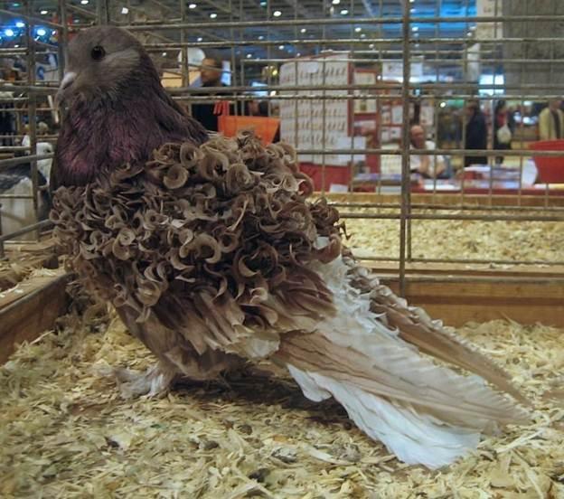 bồ câu lông xoăn tít