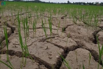 Khô hạn, khó đảm bảo nguồn nước tưới cho gần 50.000 ha lúa Hè Thu