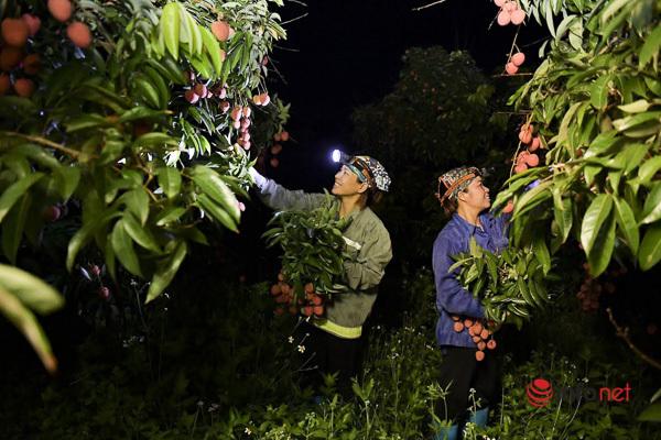 Trúng lớn mùa vải thiều, người dân thắp đèn thu hoạch cả đêm