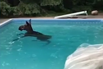 """Video: Chú nai sừng tấm """"tắm trộm"""" hàng giờ trong hồ bơi"""